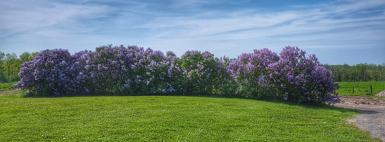 Lilacs in full bloom in Cayuga County (photo)